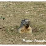 Poussin et les marmottes