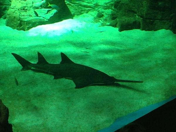 aquarium mare nostrum montpellier requin scie