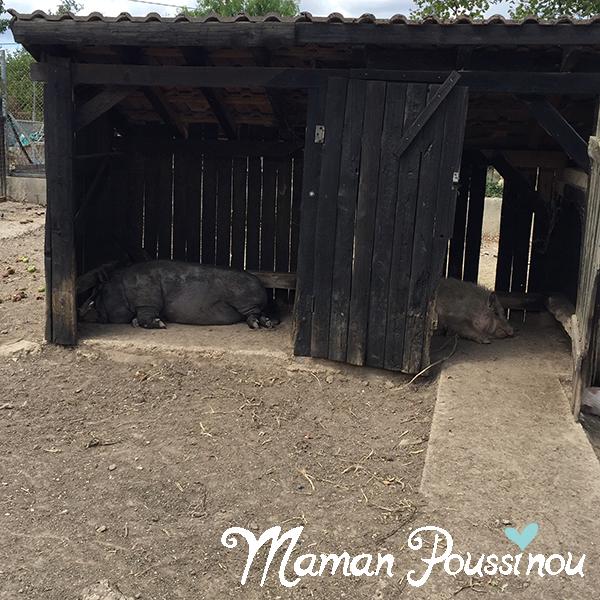 cochons-noirs-petit-bois-sagy